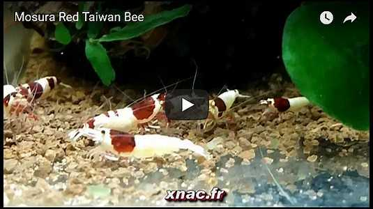 Mosura Red Taiwan Bee